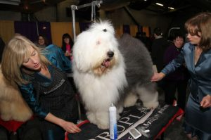 sheepdog-at-westminister-born-using-semen-frozen-17-years